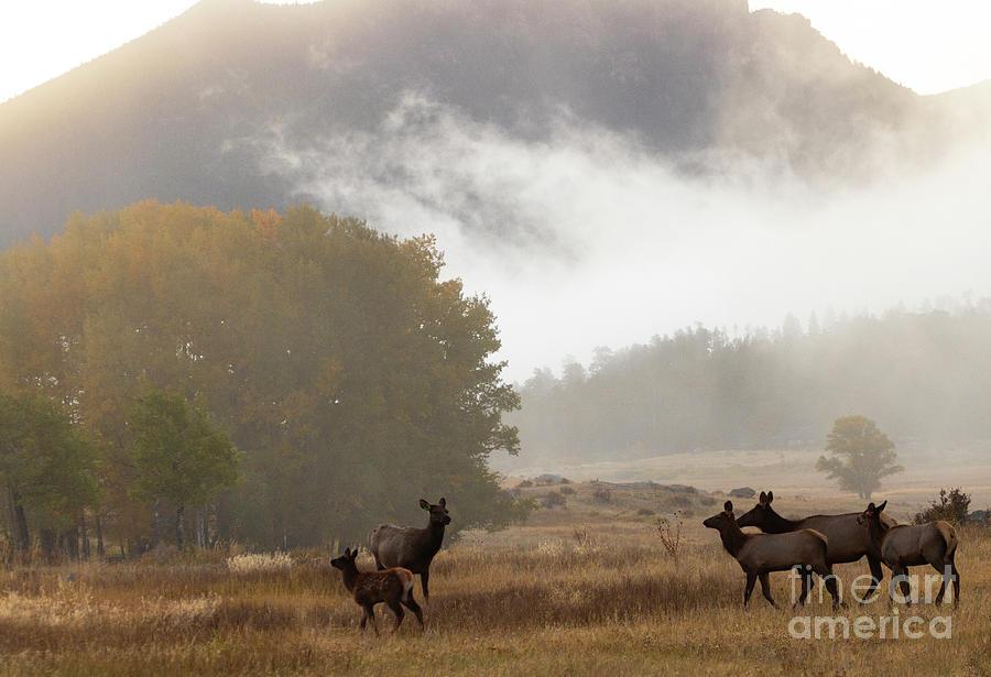 Elk Herd On A Misty Morning Photograph