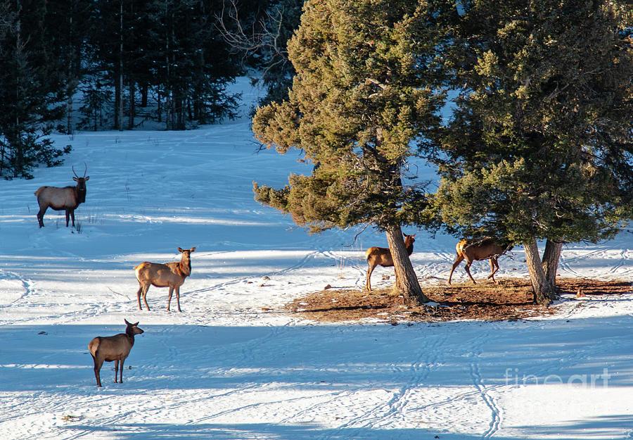 Elk Herd Resting In Snow Photograph