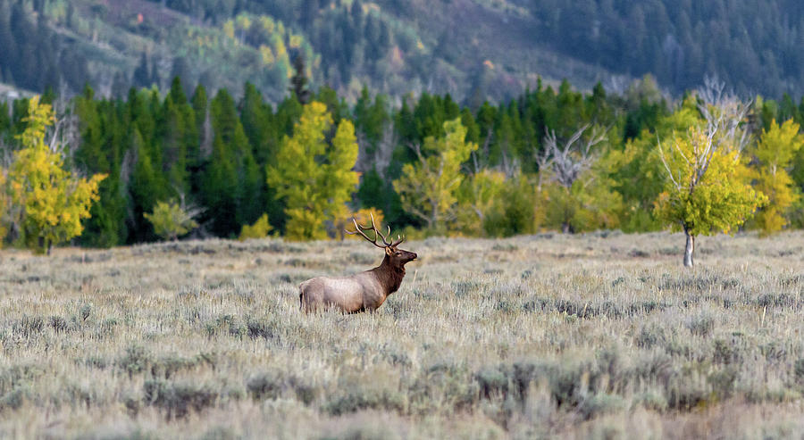Elk in color by Ronnie and Frances Howard