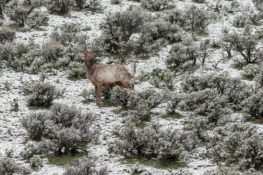 Elk in Spring by Ronnie and Frances Howard