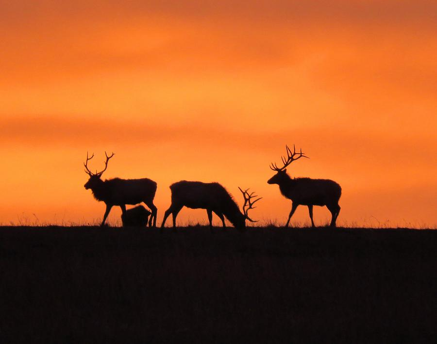 Elk in the morning light by Keith Stokes