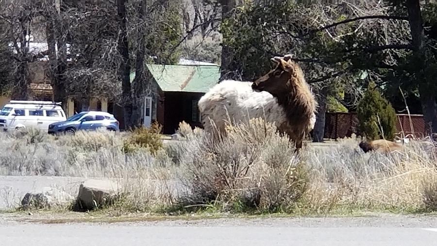 Elk Photograph
