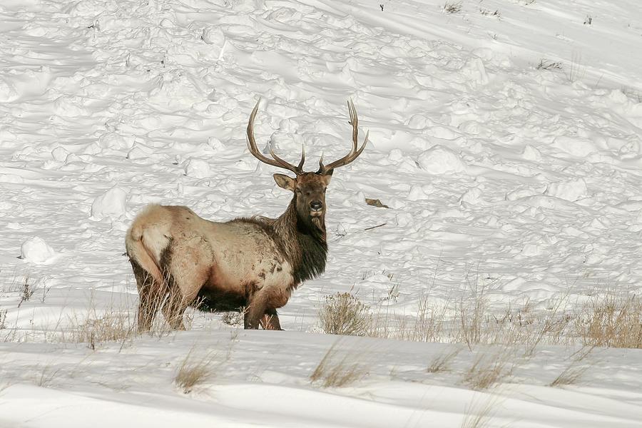 Elk posing by Ronnie and Frances Howard