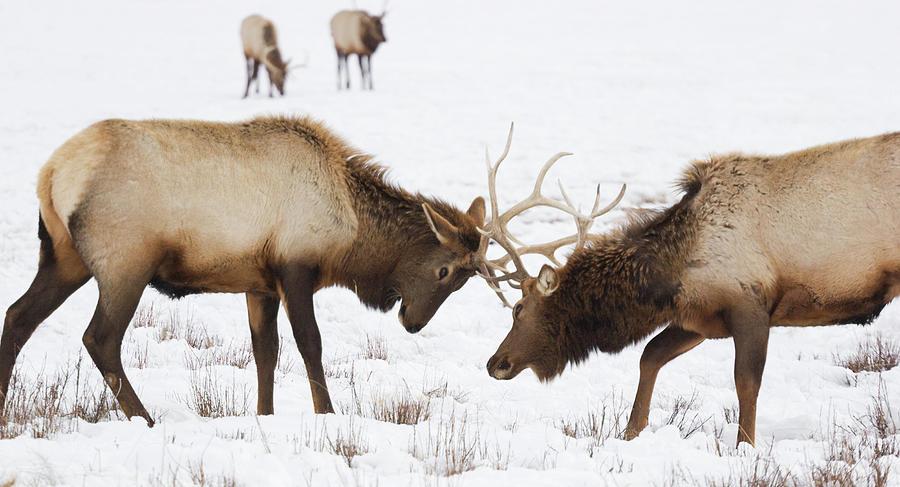Elk Sparring Photograph by Kencanning