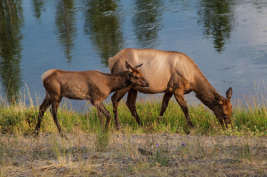 Elks Grazing on the Madison River, WY by Lon Dittrick