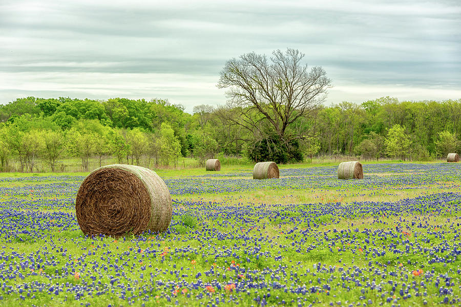 Ellis County Bluebonnets  by Victor Culpepper