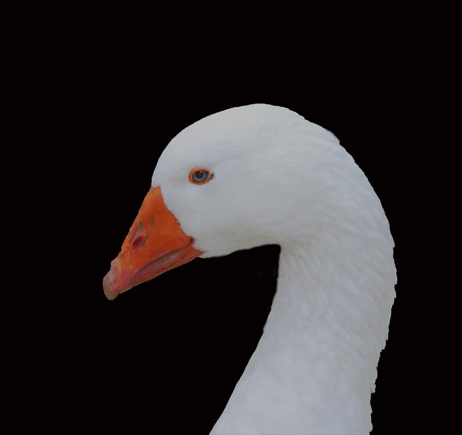 Embden Goose by Karen Silvestri