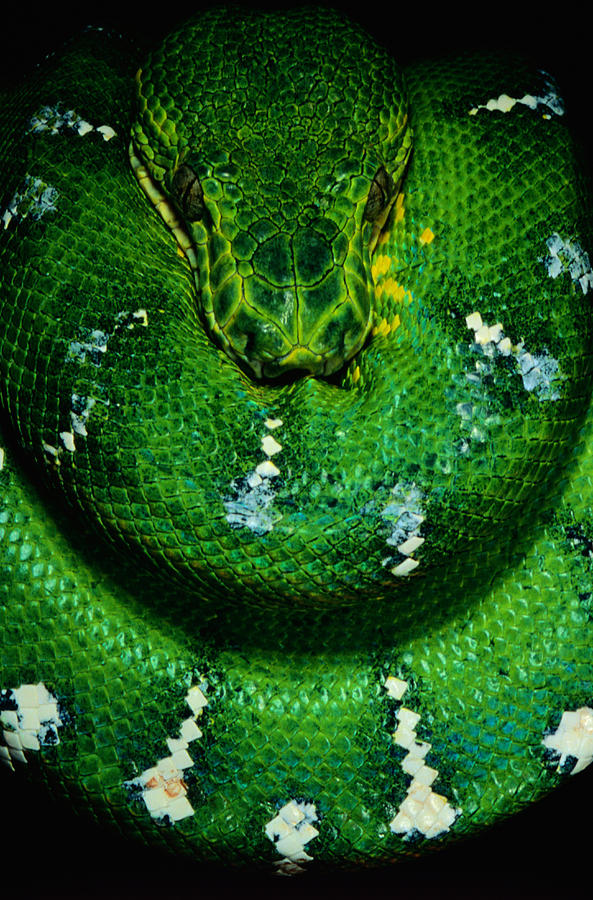 emerald-tree-boa-corallus-caninus-art-wolfe.jpg
