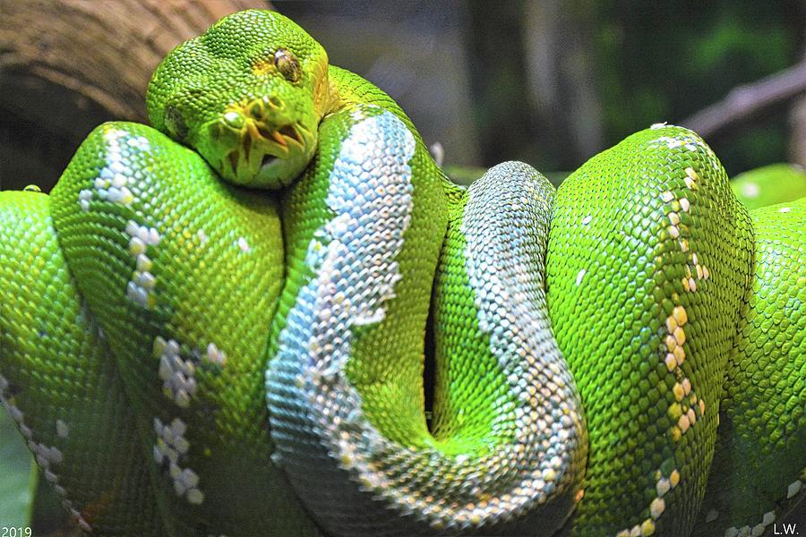 Emerald Tree Boa Snake by Lisa Wooten