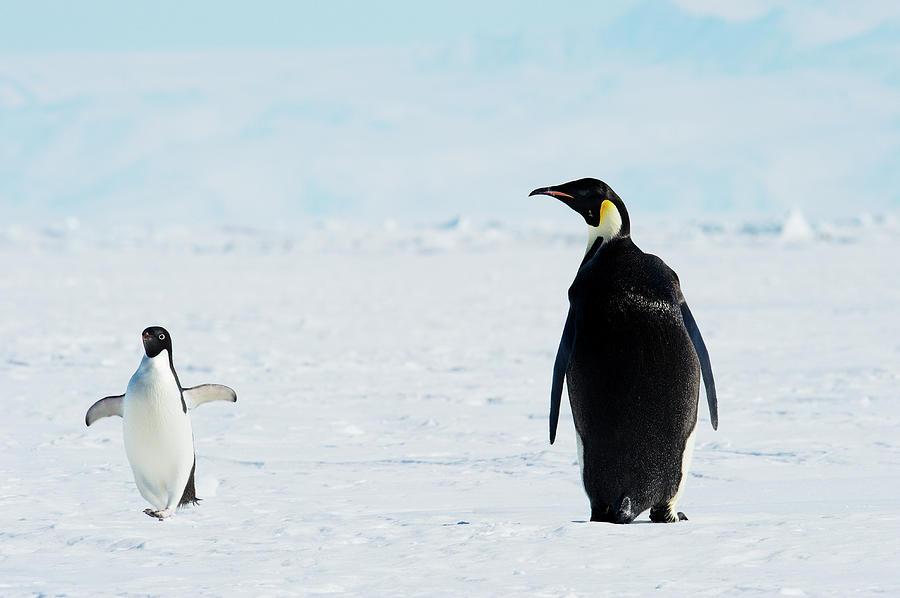 Emperor And Adélie Penguins, Antarctica Photograph by Ben Cranke