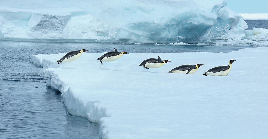 Emperor Penguin, Aptenodytes Forsteri Photograph by Raimund Linke