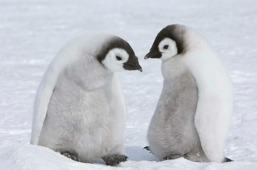 Emperor Penguin Chicks Photograph by Thomas Kokta