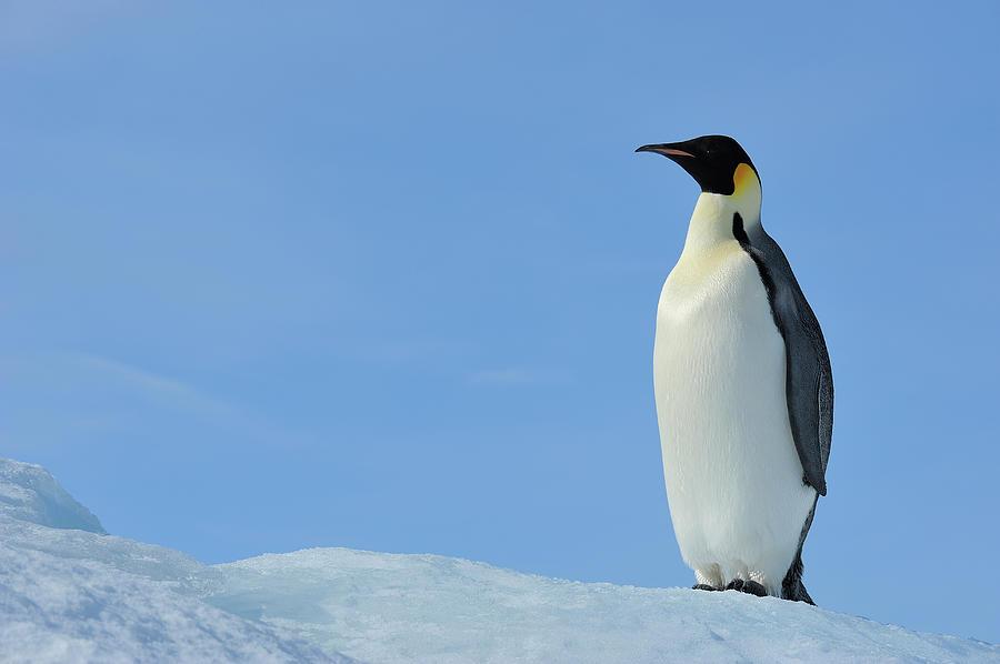 Emperor Penguin Photograph by Raimund Linke