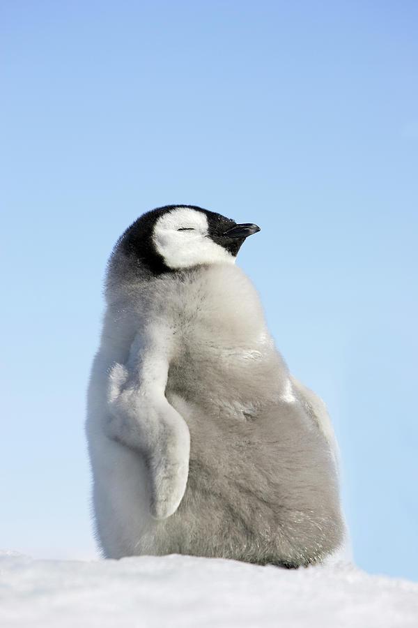 Emperor Penguin Photograph by Sylvain Cordier