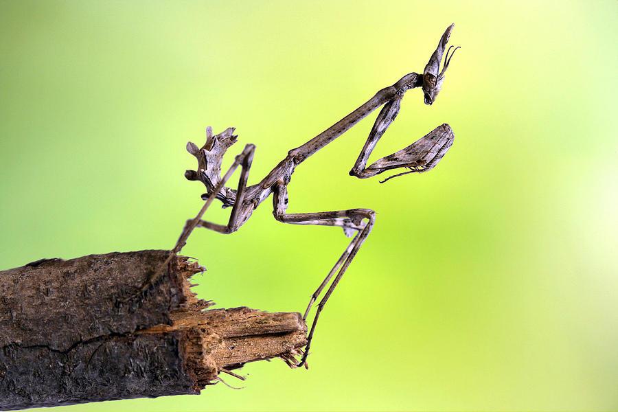 Macro Photograph - Empusa Pennata-larva by Jimmy Hoffman