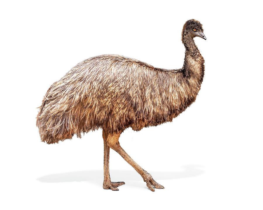 Emu Photograph - Emu Bird Named Edna by Susan Schmitz