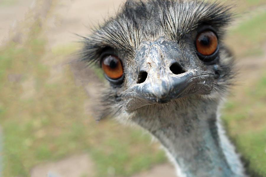 Emu by Sarah Lilja
