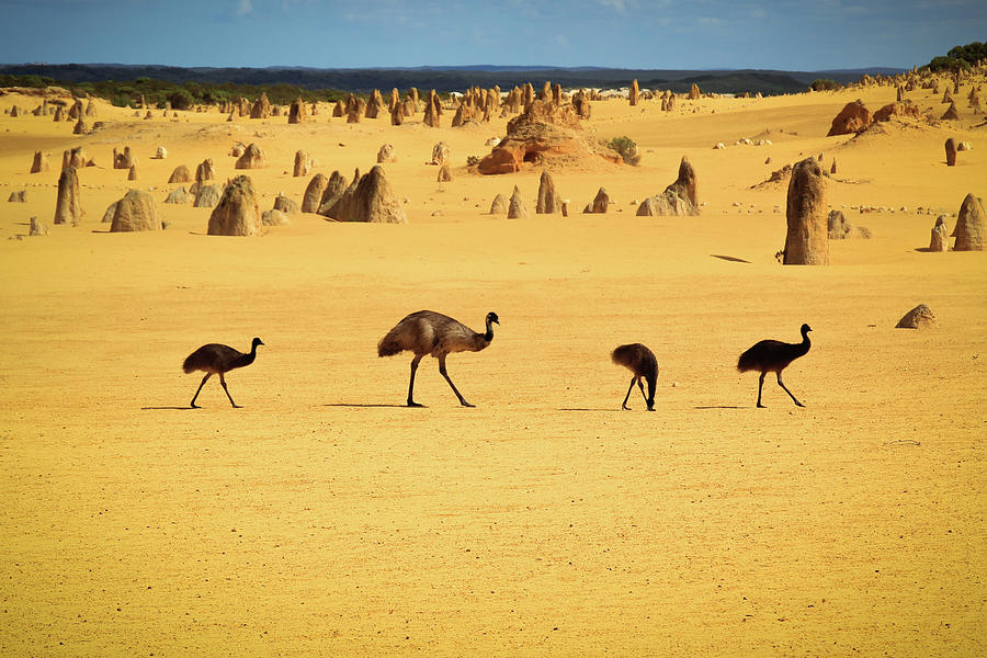 Emus In Nambung National Park Photograph by Photography By Ulrich Hollmann