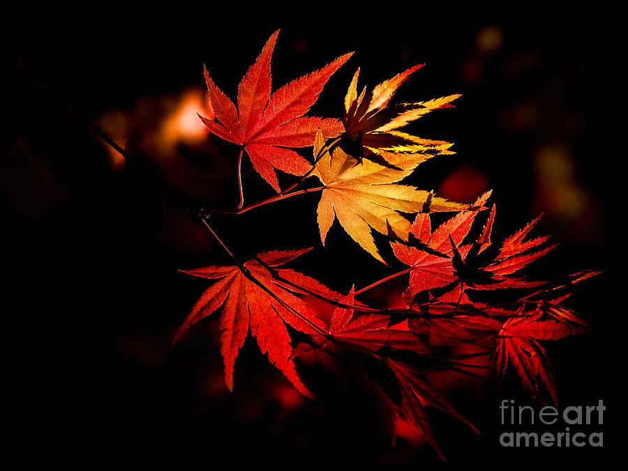 Delicate Photograph - Enchanting Yellow To Red Gradient by Hibiki Nakata