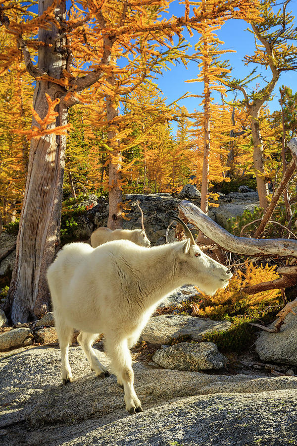 Enchantments Goats by Johnny Adolphson