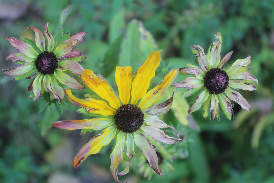 Black-eyed Susan Photograph - End Of The Season by Callen Harty