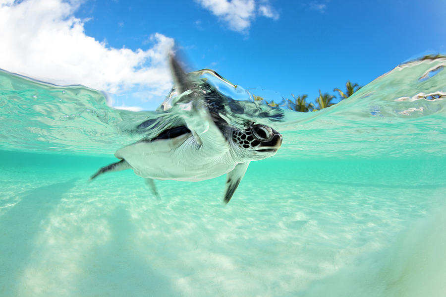 Endangered Baby Green Sea Turtle Photograph by Michele Westmorland