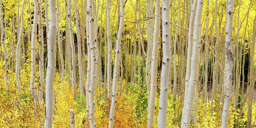 Endless Aspens 2x1 by Ryan Moyer