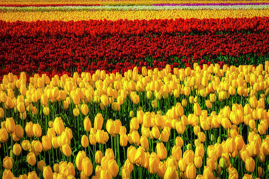 Tulip Photograph - Endless Tulip Fields by Garry Gay