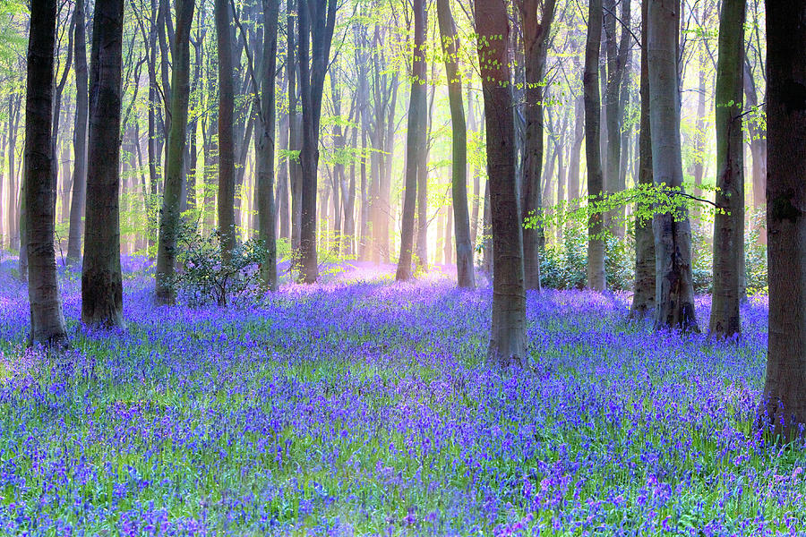 English Bluebell Wood At Dawn Photograph by Doug Chinnery