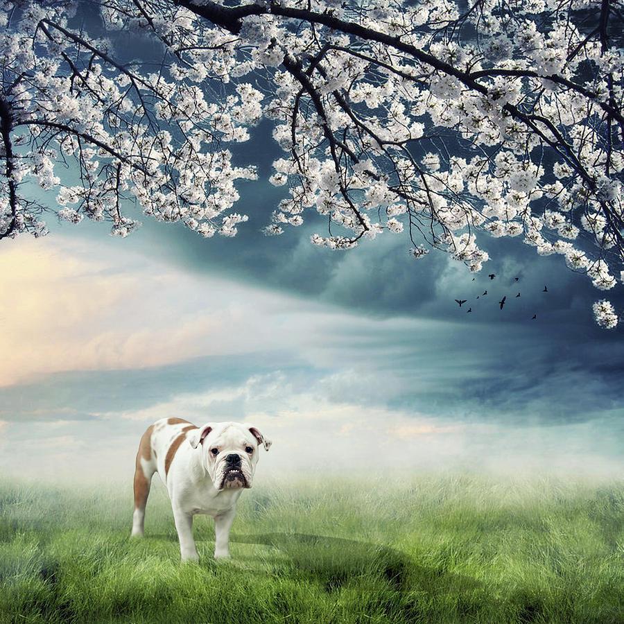 English Bulldog Photograph by Jody Trappe Photography