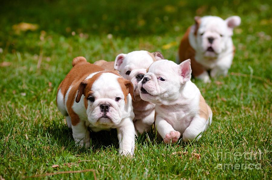 Pets Photograph - English Bulldog Puppies Playing Outdoors by Otsphoto