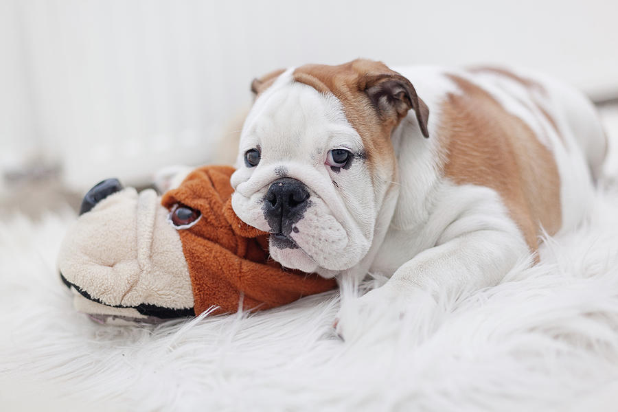 English Bulldog Puppy Photograph by Carol Yepes
