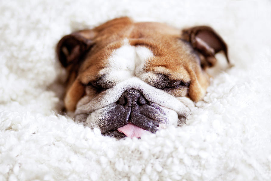English Bulldog Sleeping In Fluffy Photograph by Hanneke Vollbehr