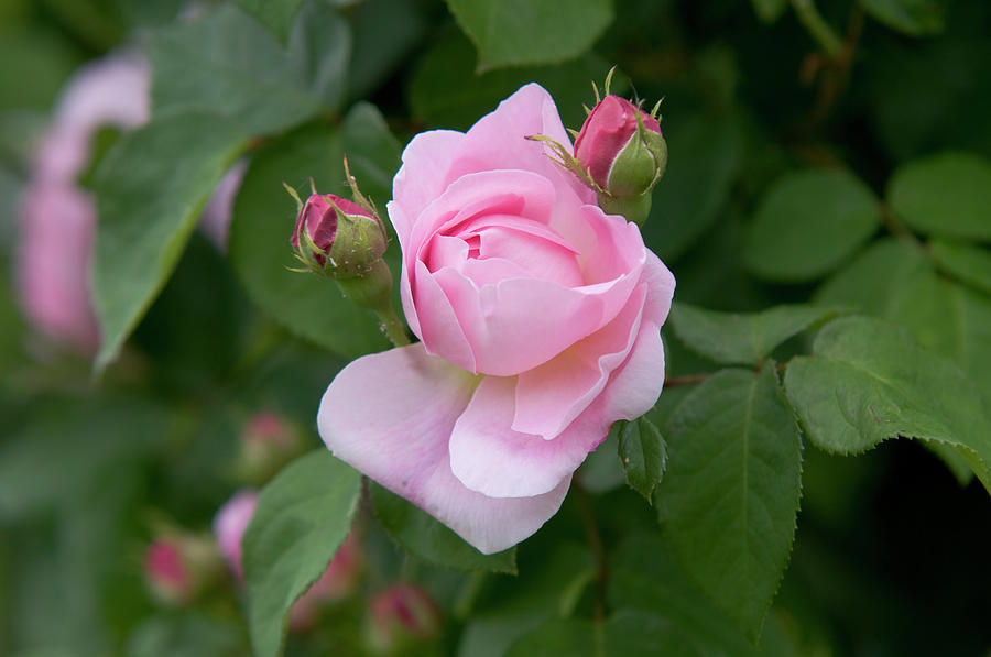 English Rose Constance Spry 1 by Jenny Rainbow