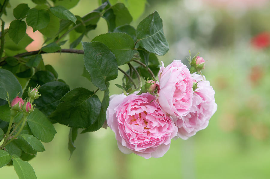 English Rose Constance Spry 2 by Jenny Rainbow