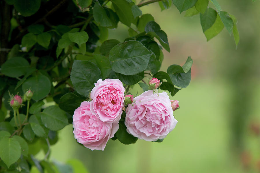 English Rose Constance Spry by Jenny Rainbow