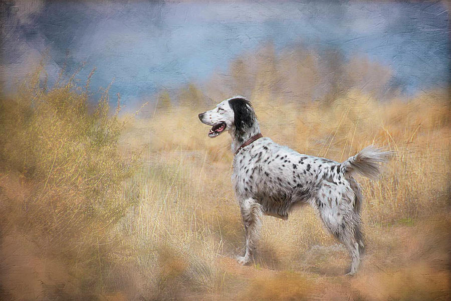 English Setter Dog by Flying Z Photography by Zayne Diamond