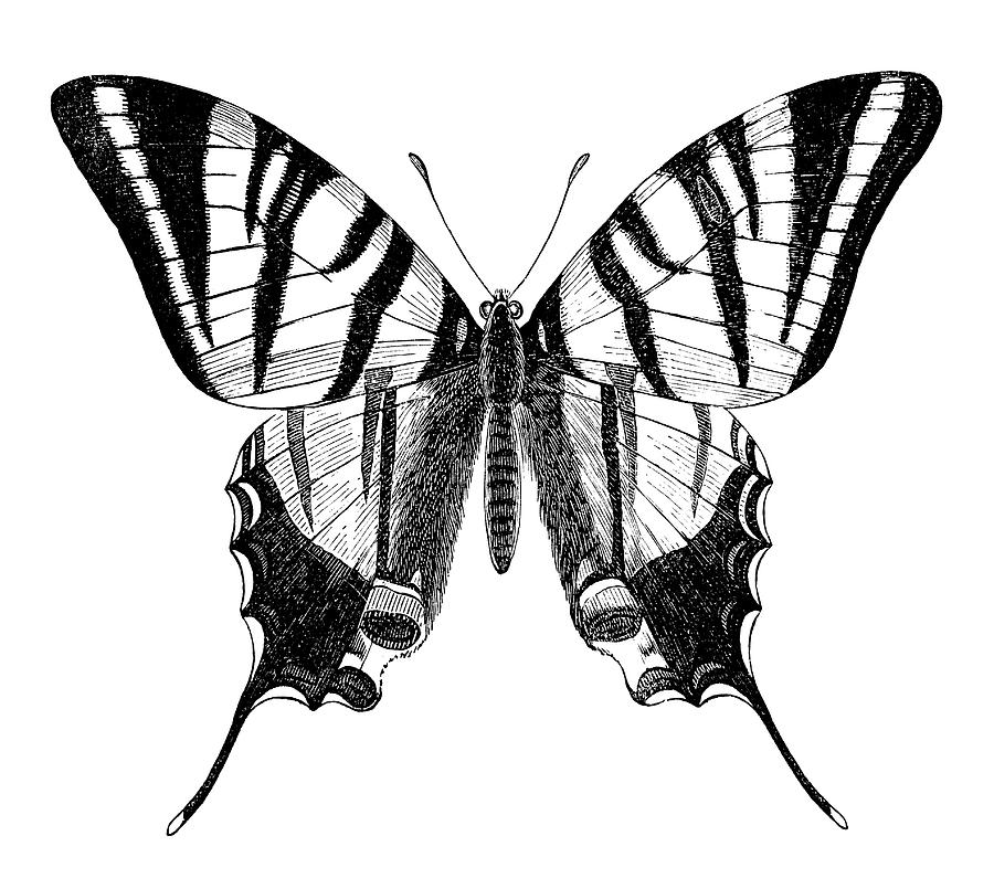 Engraving Of Butterfly Sail Swallowtail Digital Art by Grafissimo