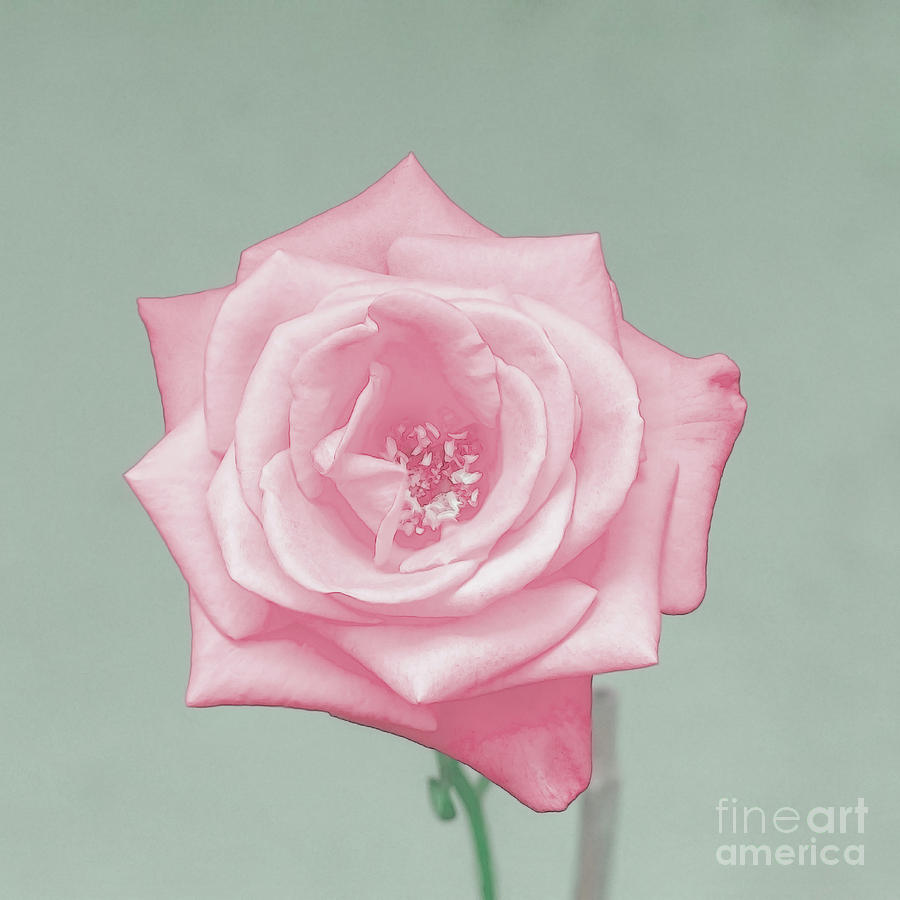 enhanced perfect salmon rose k photograph by humorous quotes