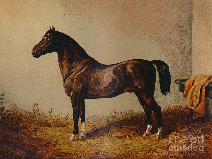 Entire Pony Hack Don Carlos Drawing by Print Collector