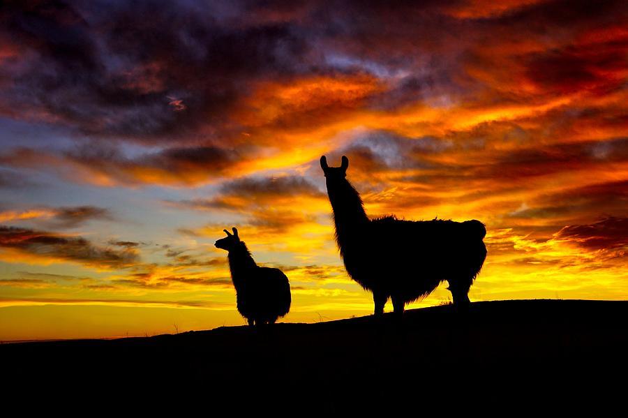 Epic Llama Sunrise by Bryan Smith