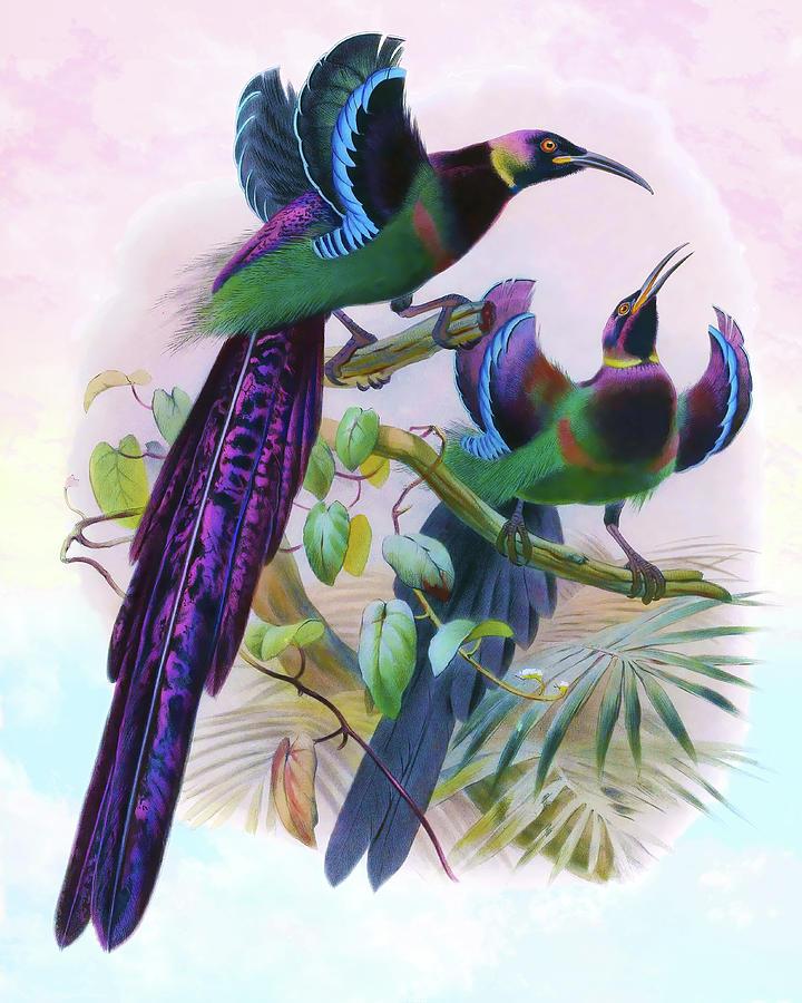 Epimachus Ellioti, Elliots Bird Of Paradise Drawing