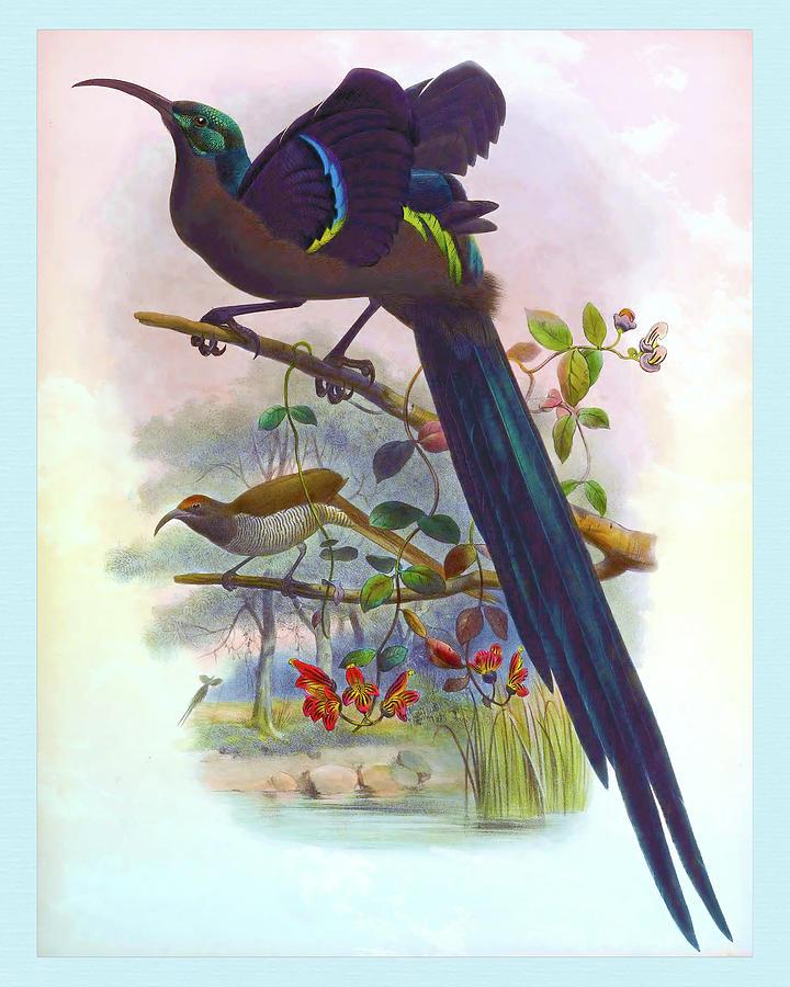 Epimachus Speciosus, Great Sickle Bill Bird Of Paradise Drawing
