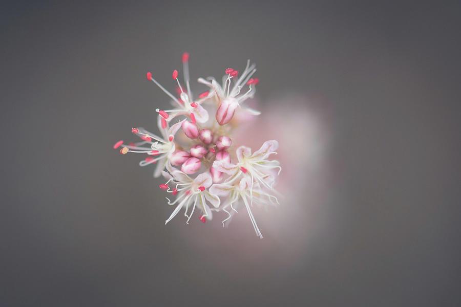 Eriogonum gracile - Slender Buckwheat by Alexander Kunz