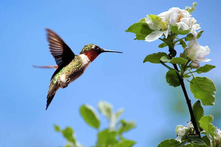 Hummingbird Photograph - Eternal Hummingbird by Christina Rollo