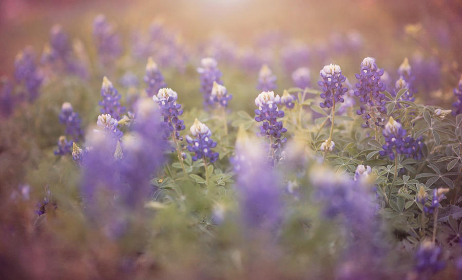 Ethereal Texas Bluebonnets by Andrea Anderegg