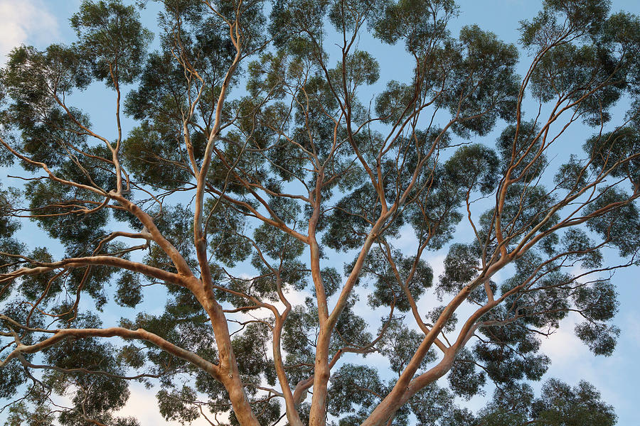 Eucalyptus Tree Trunk Canopy, Evening Photograph by Eastcott Momatiuk