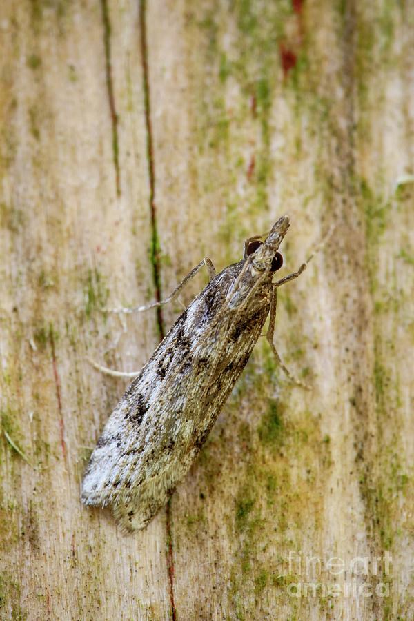 Arthropod Photograph - Eudonia Angustea by Heath Mcdonald/science Photo Library