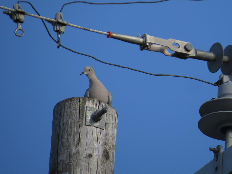Eurasian collared dove 2 by Jean Evans