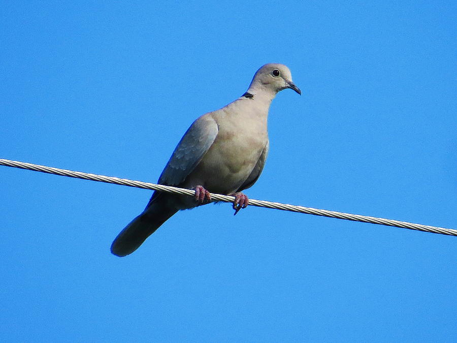 Eurasian collared dove by Jean Evans